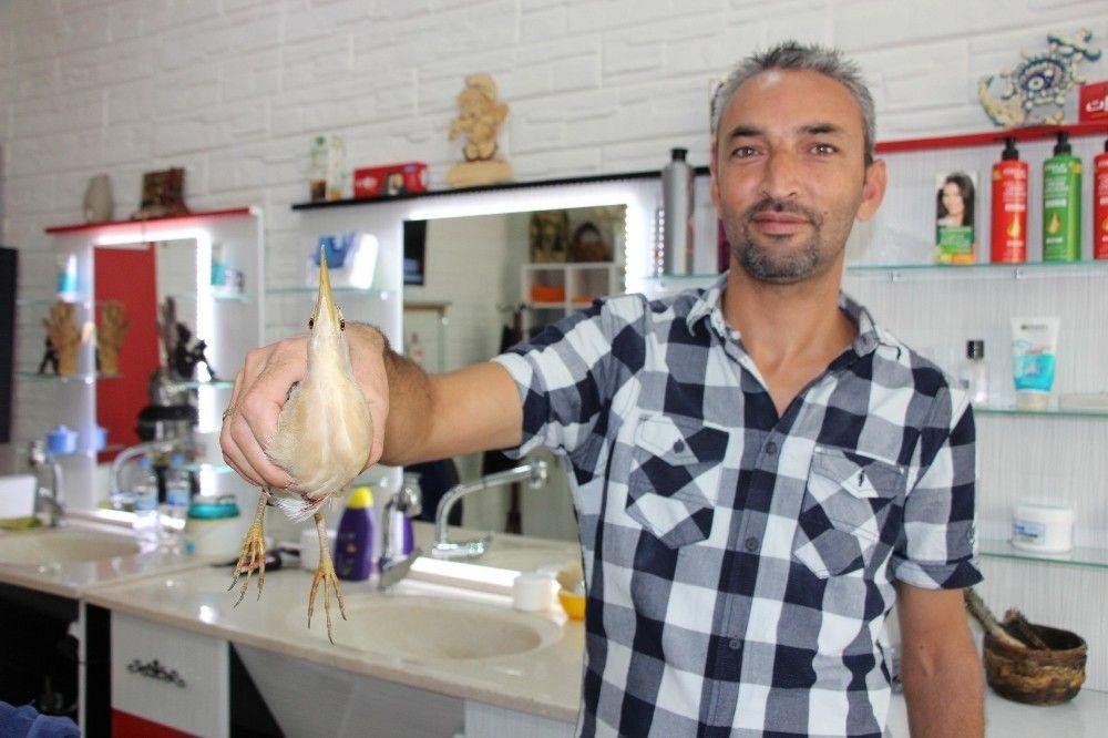 Yaralı 'balaban' berber dükkanına sığındı