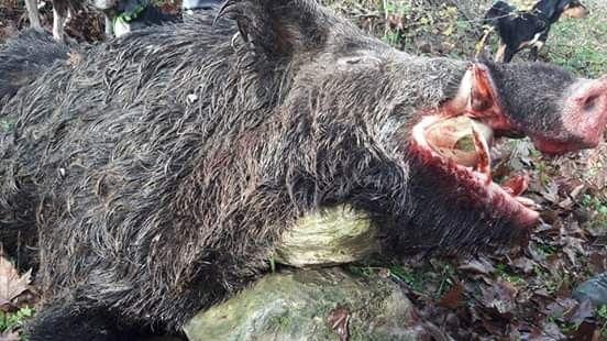 Sinop'ta 200 kiloluk domuz