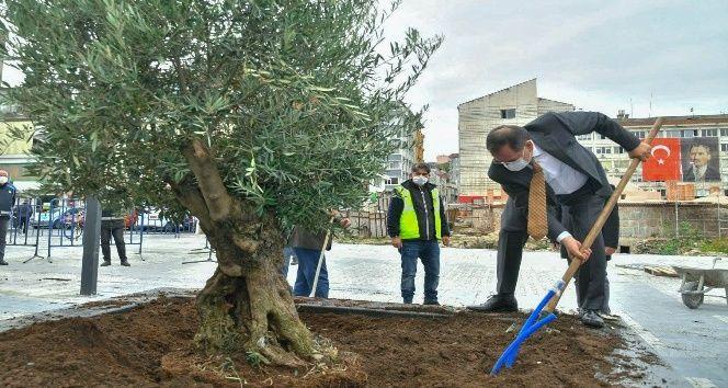 Saathane'ye zeytin ağacı