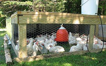 Kırsala on tavuk, bir horoz