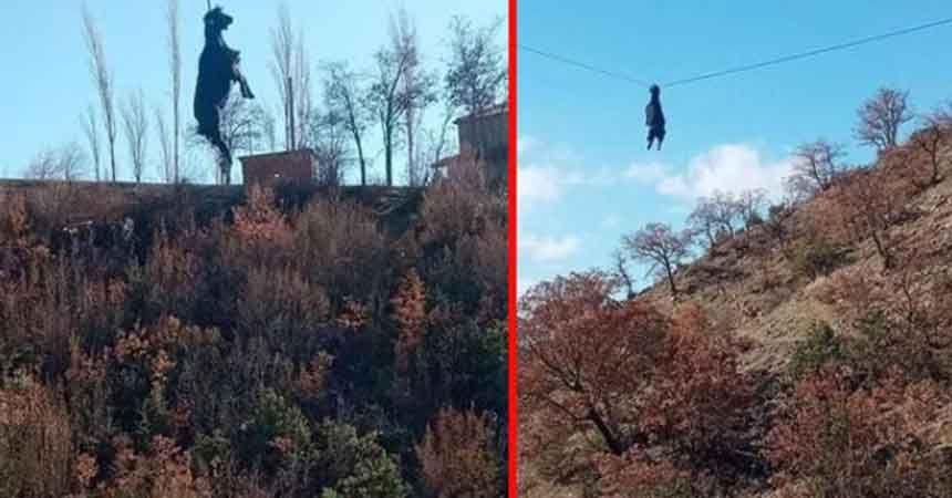 Sinop'ta şaşırtan manzara: Keçi tellerde böyle süzüldü!