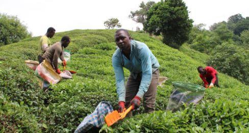 Çay üreticisine önemli uyarı