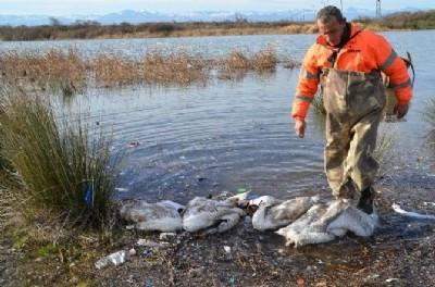 Bafra'da kanatlı hayvan ölümleri